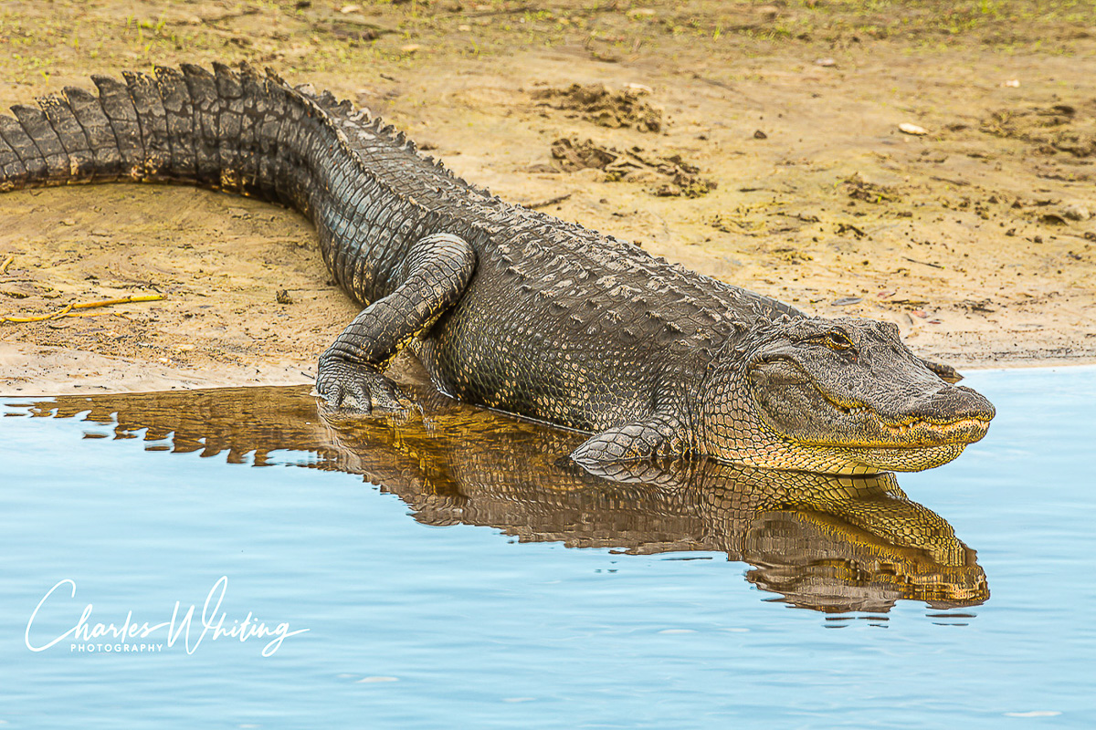 American Alligator, Alligator, Myakka River, Sarasota, Florida, photo