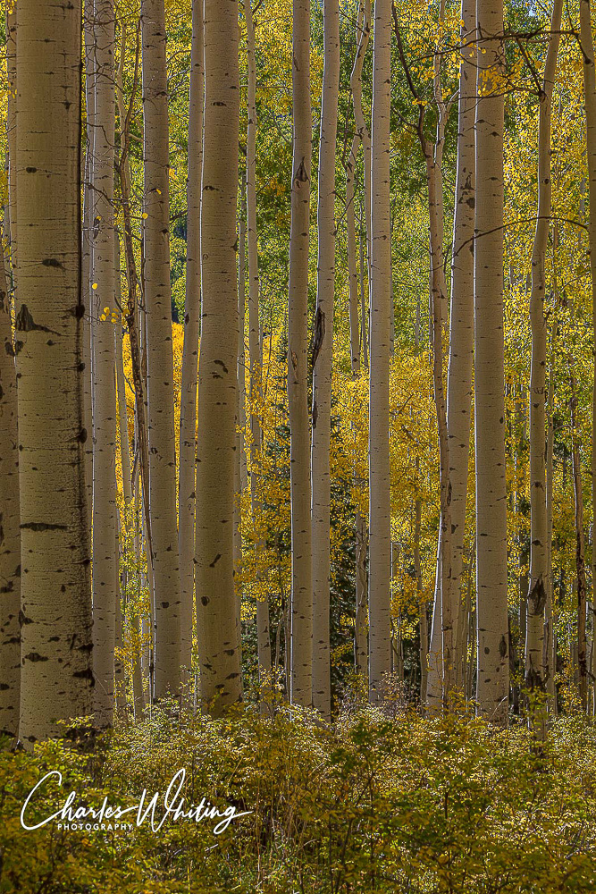 Woods Lake, Aspen boles, Fall, Placerville, Colorado, photo