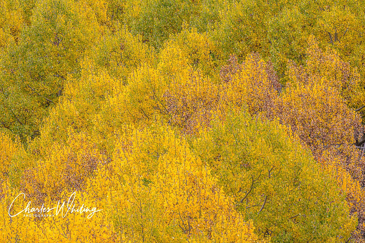 Aspens, Ophir, Colorado, photo