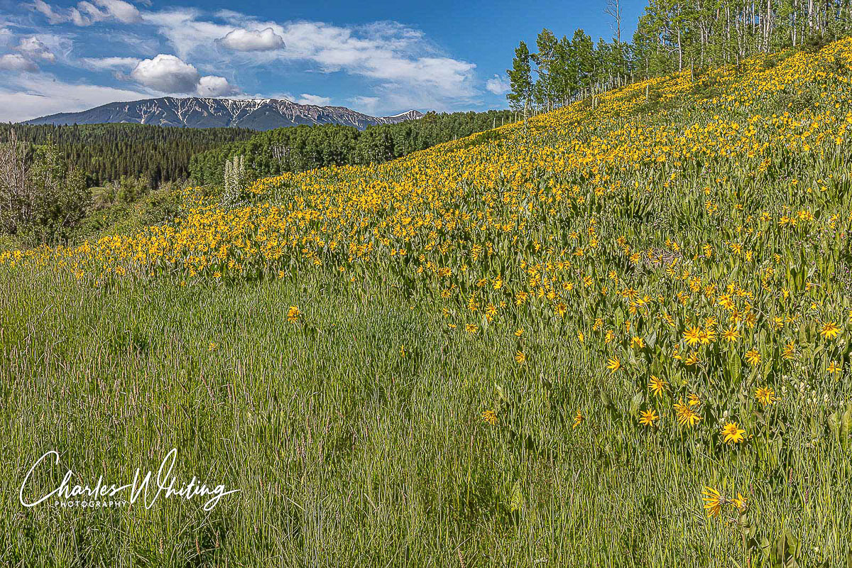 Aspen Sunflowers and Green Gentian flourish in the shadow of the Anthracite Range along Ohio Pass road