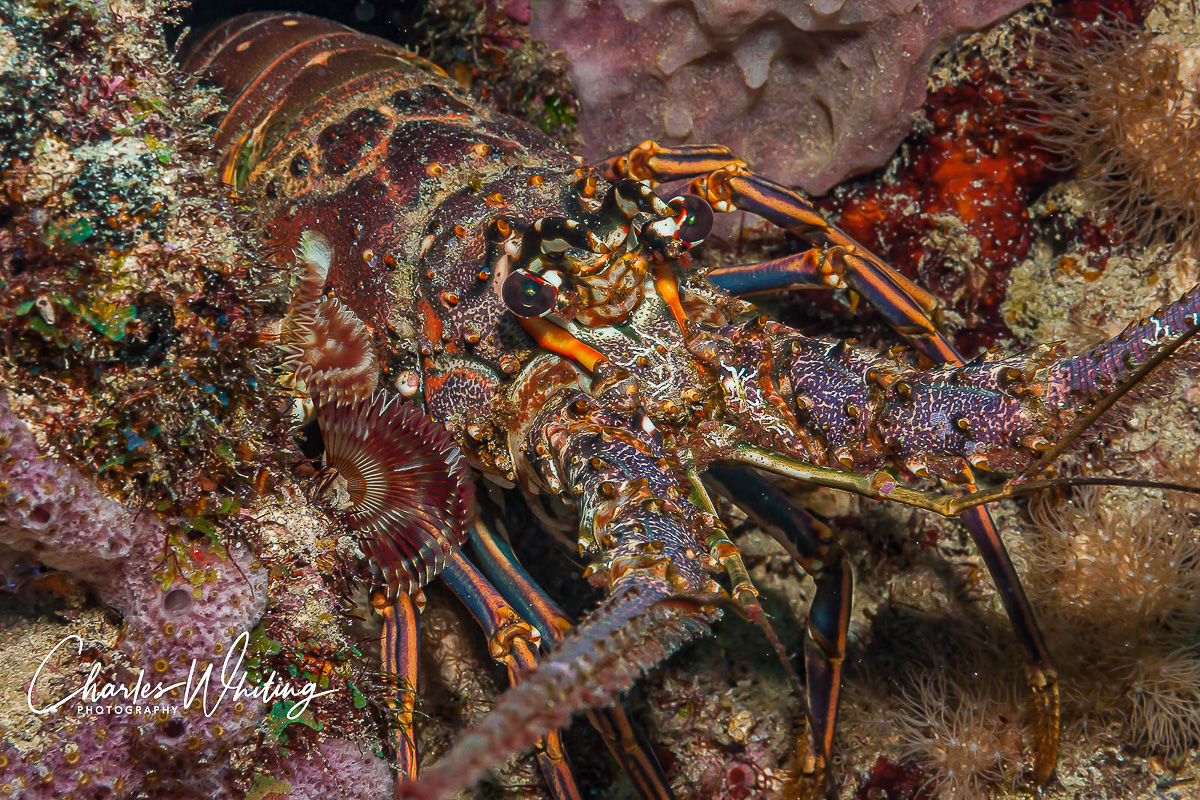 Atlantic Lobster, Black Condo Reef, Boynton Beach, Florida, coral reef, photo