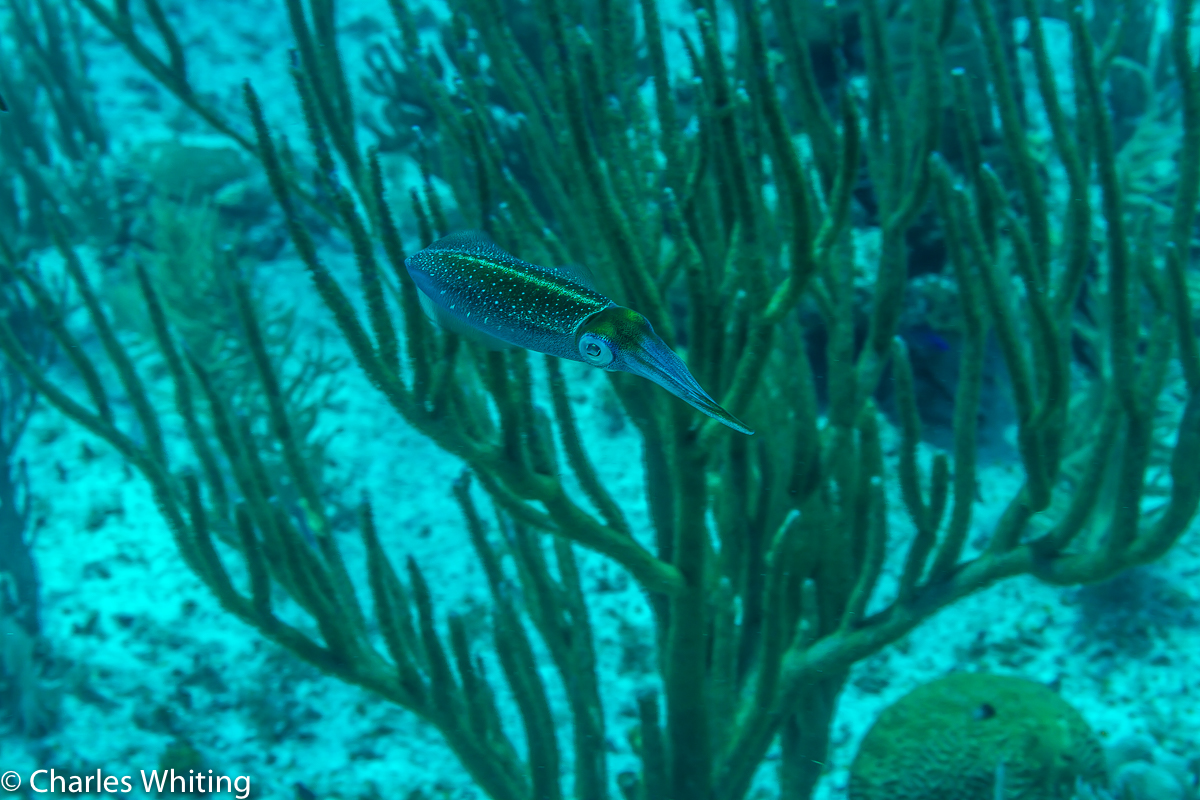 Reef Squid, Little Cayman, photo