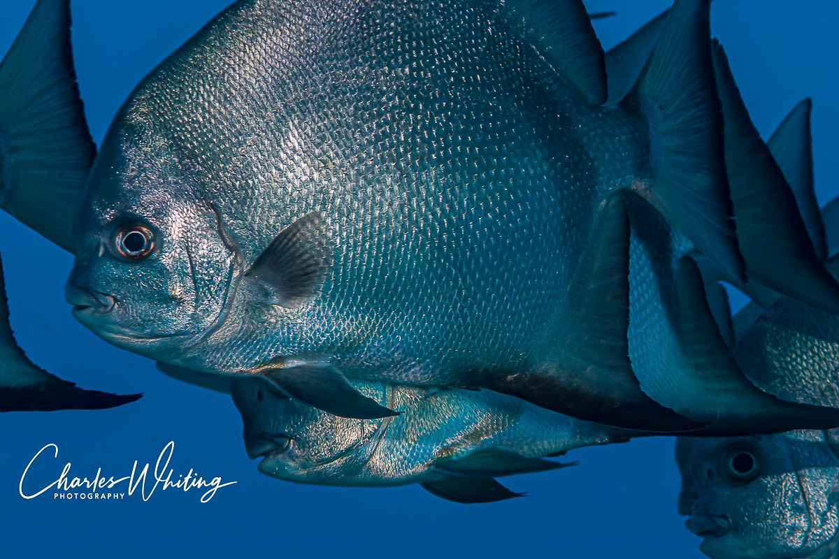 Atlantic Spadefish, Roatan, Honduras, photo