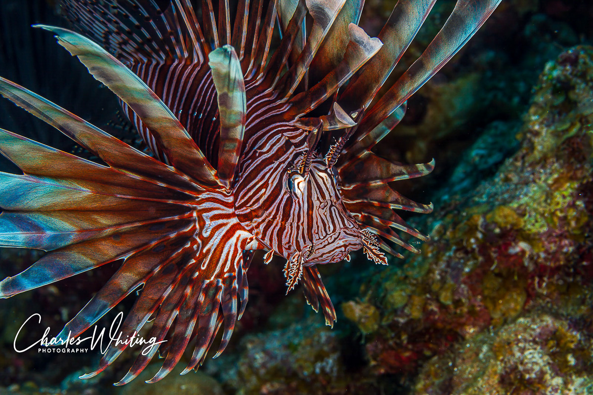 lionfish, Belize, Lighthouse Reef, photo