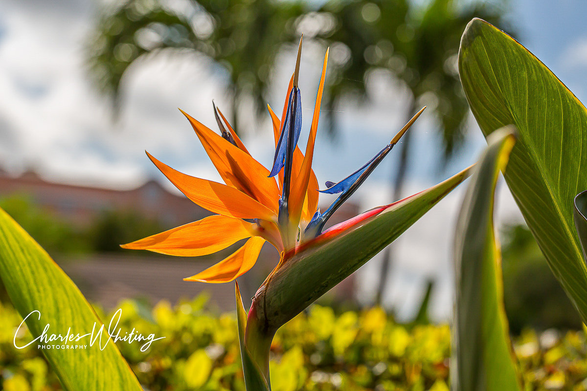 A Bird of Paradise flower backlit by the early morning sun