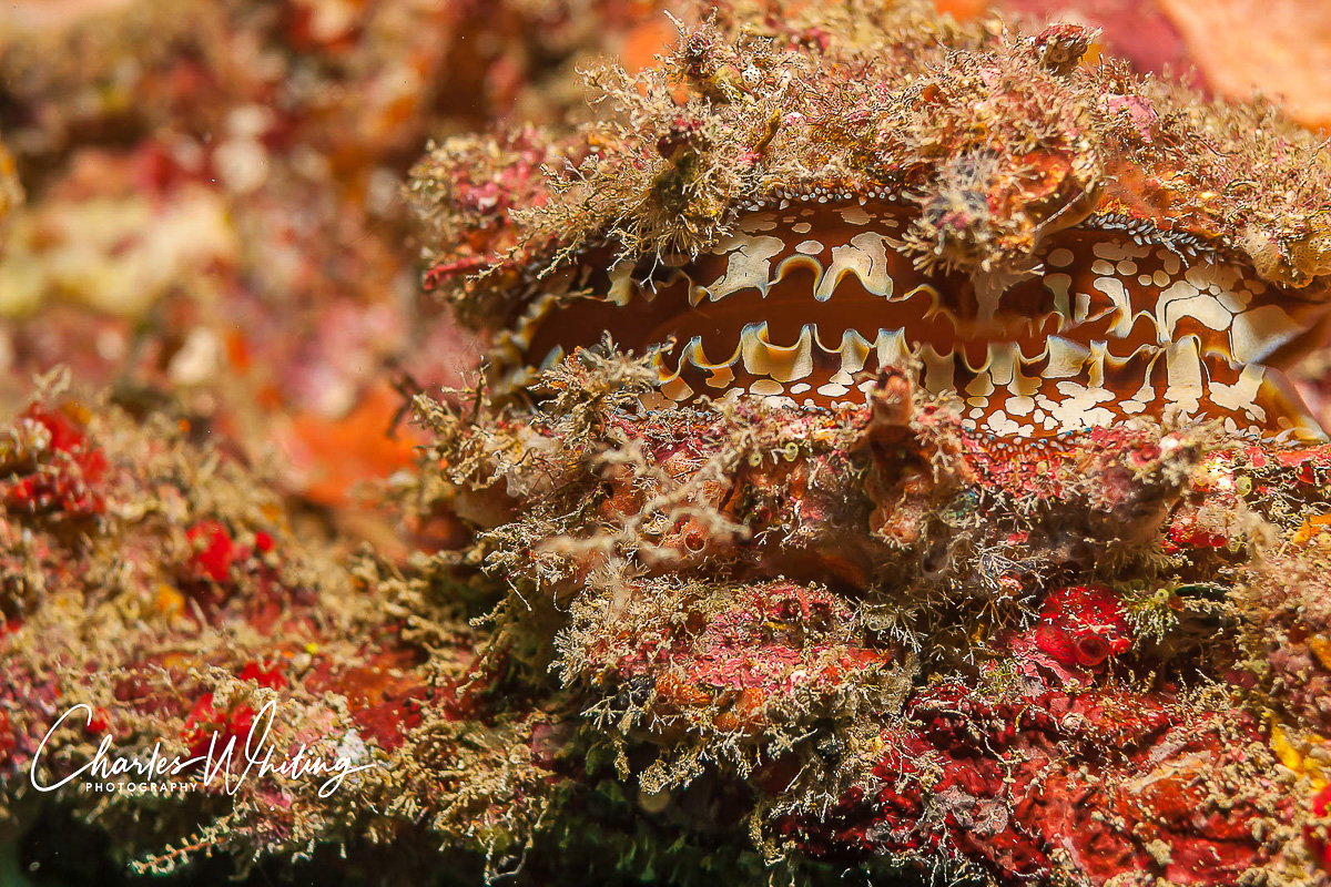 A bivave attached to the bridge railing of the Captain Tony wreck filters nutrients carried by the ocean currents