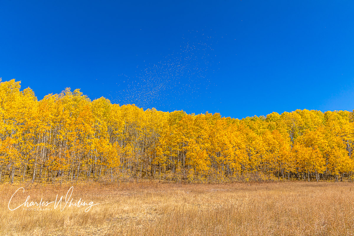 Aspen Leaves, Kebler Pass, Gunnison County, Colorado, photo