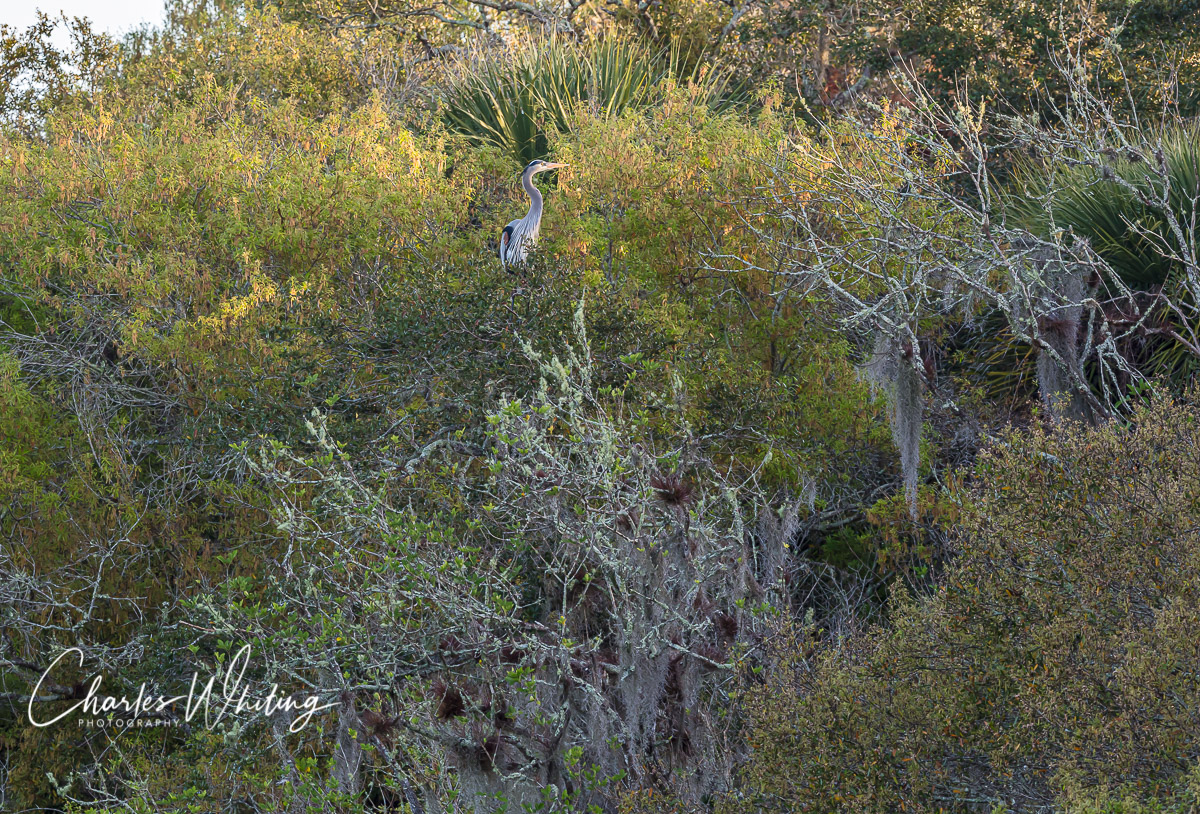 A Great Blue Heron greets the day after spending the night in a tall tree perch