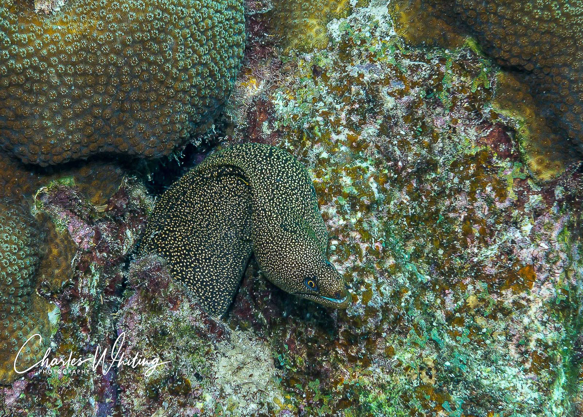 Brown Spotted Eel, Coral Reef, Bonaire, Netherlands Antilles, photo