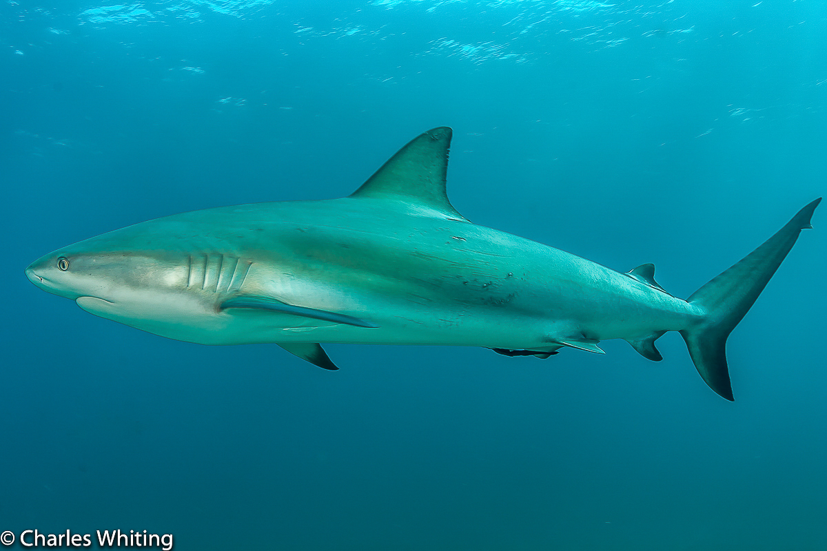 Caribbean Blacktip Reef shark, Cay Sal Banks, Bahamas, photo