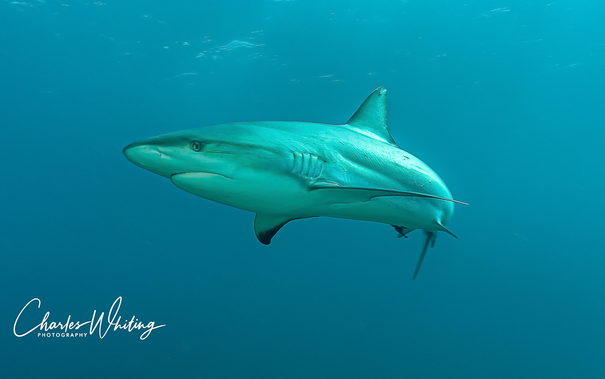 Caribbean Blacktip Reef Shark, shark, Cay Sal Banks, Bahamas, , photo