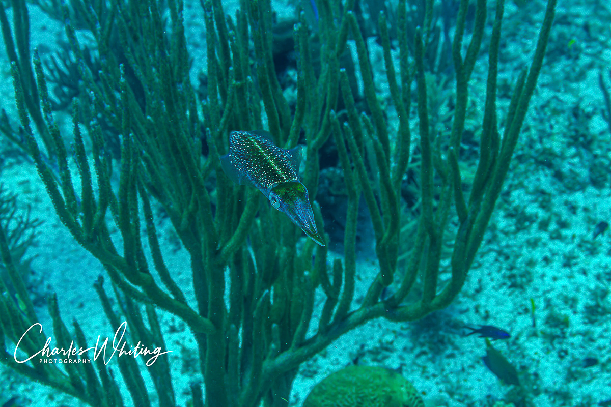 Caribbean Reef Squid, Little Cayman, Bloody Bay Wall, Cayman Islands, photo