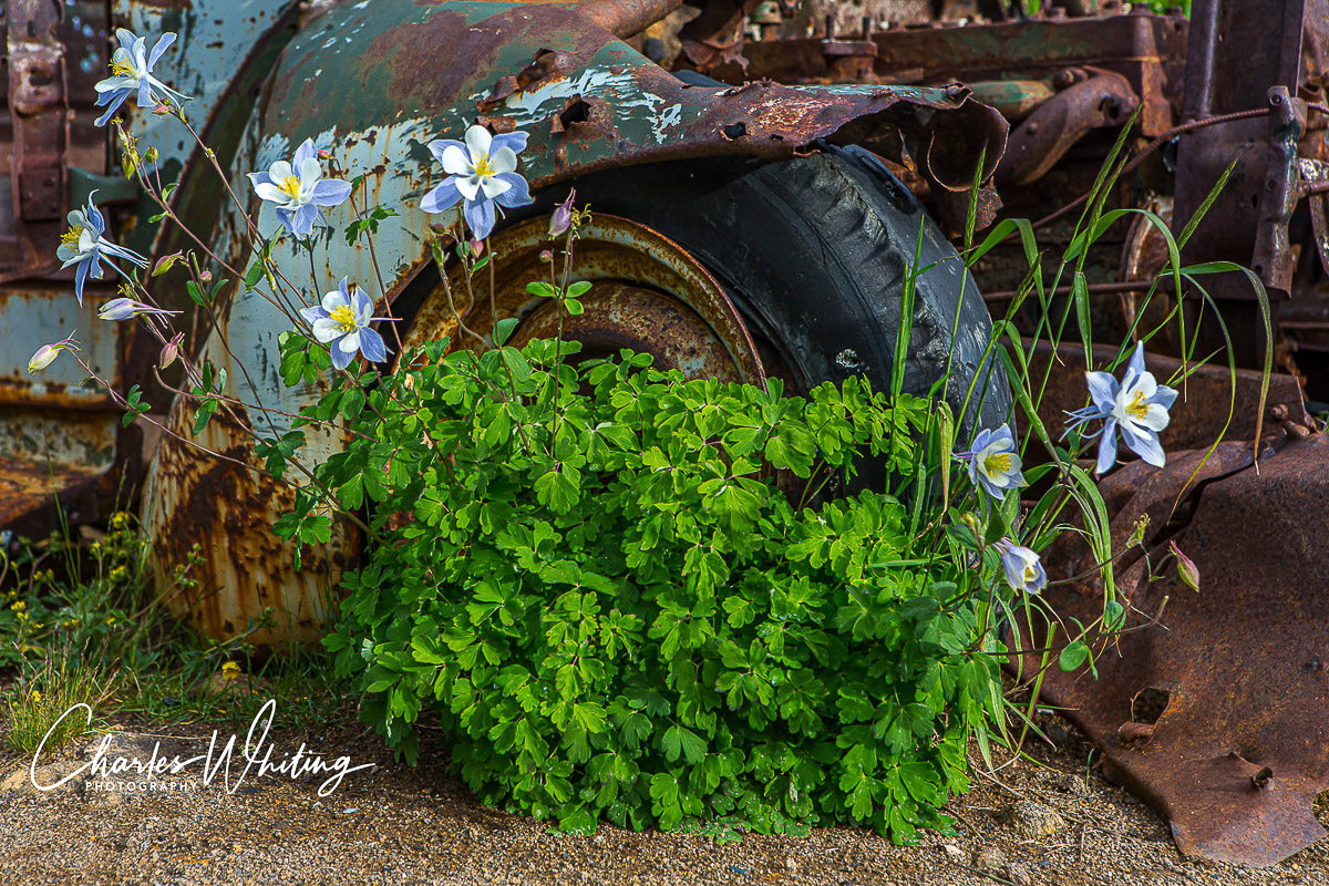 Columbines grow near an old mining truck slowly dissolving into rust
