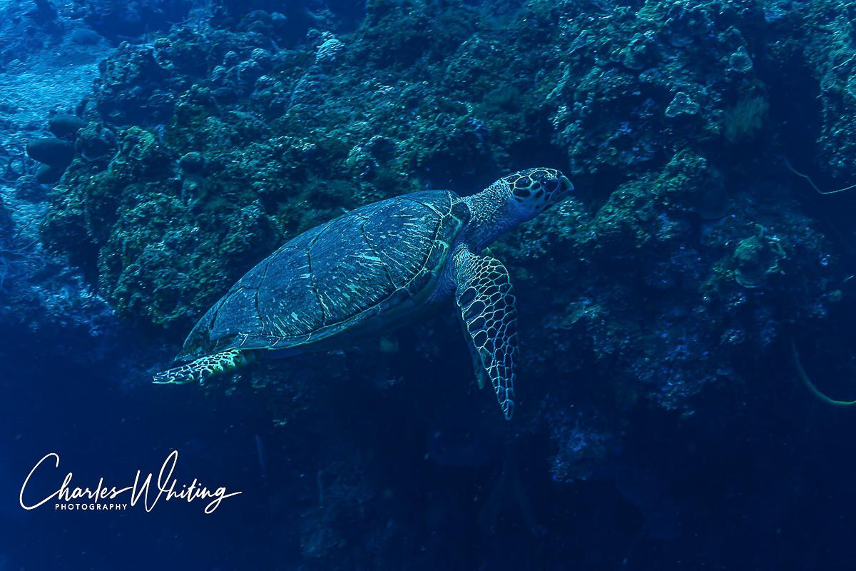 Hawksbill Turtle, Cozumel, Mexico, photo