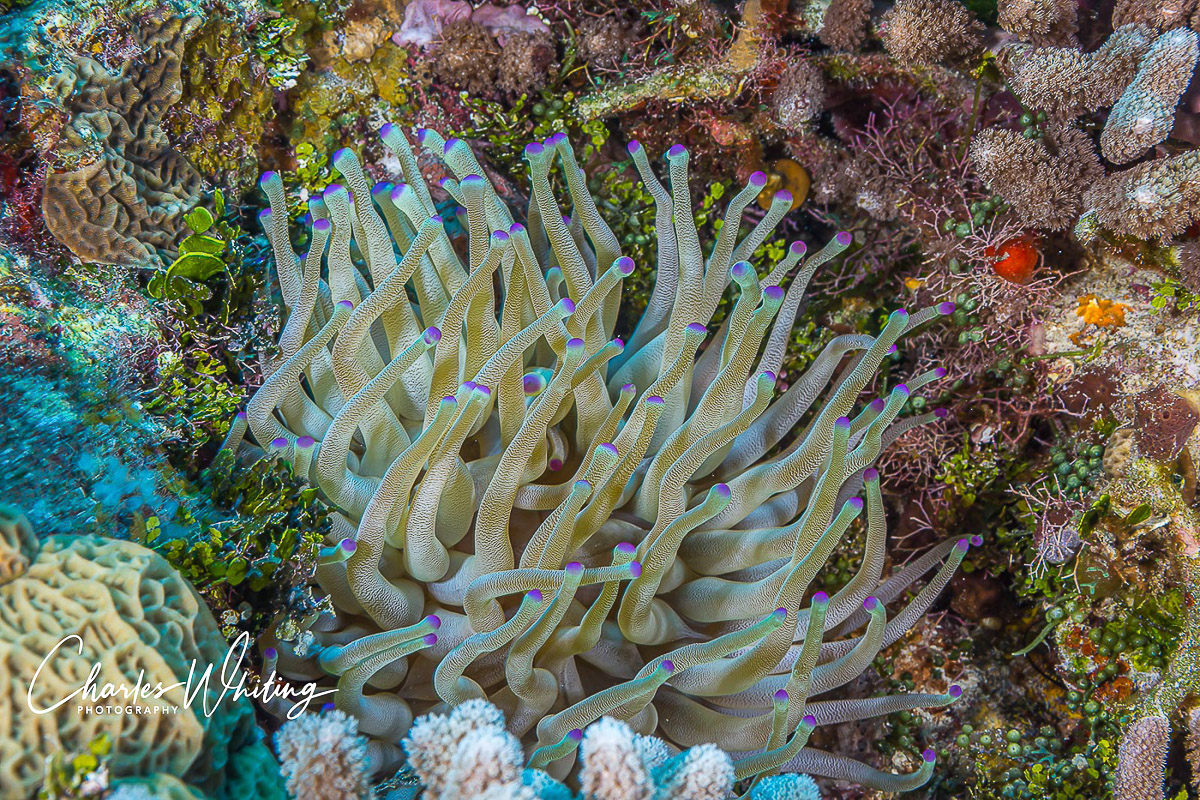 Purple-Tipped Sea Anemone, Sea Anemone, Anemone, Cozumel, Mexico, photo