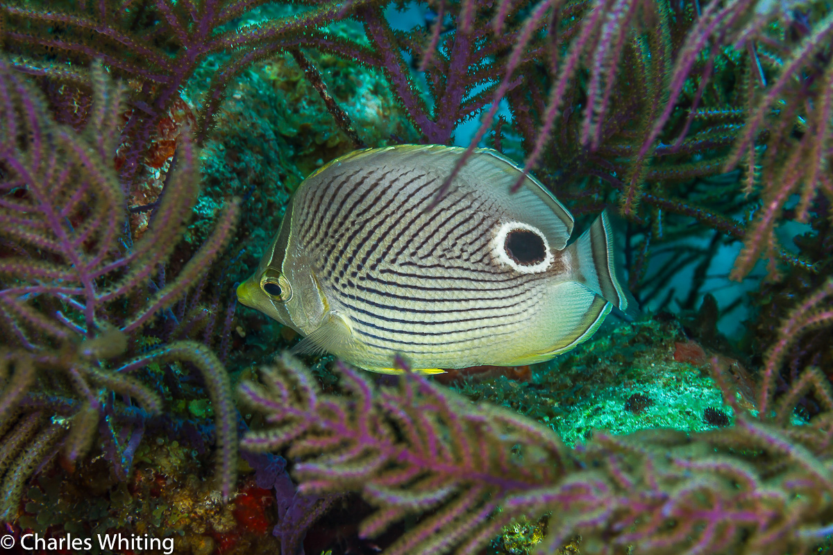 Foureye Butterflyfish, Lighthouse Reef, Belize, photo