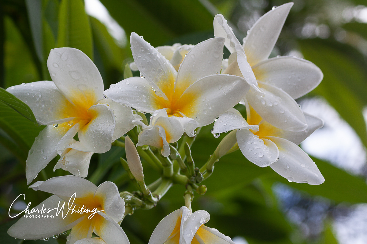 Frangipani, flowers, water droplets, Providenciales, Turks and Caicos Islands, photo