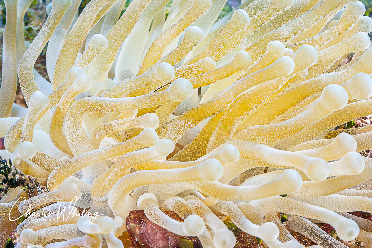 Giant Sea Anemone, Cayman Brac, Cayman Islands, Black Hole Wall, photo