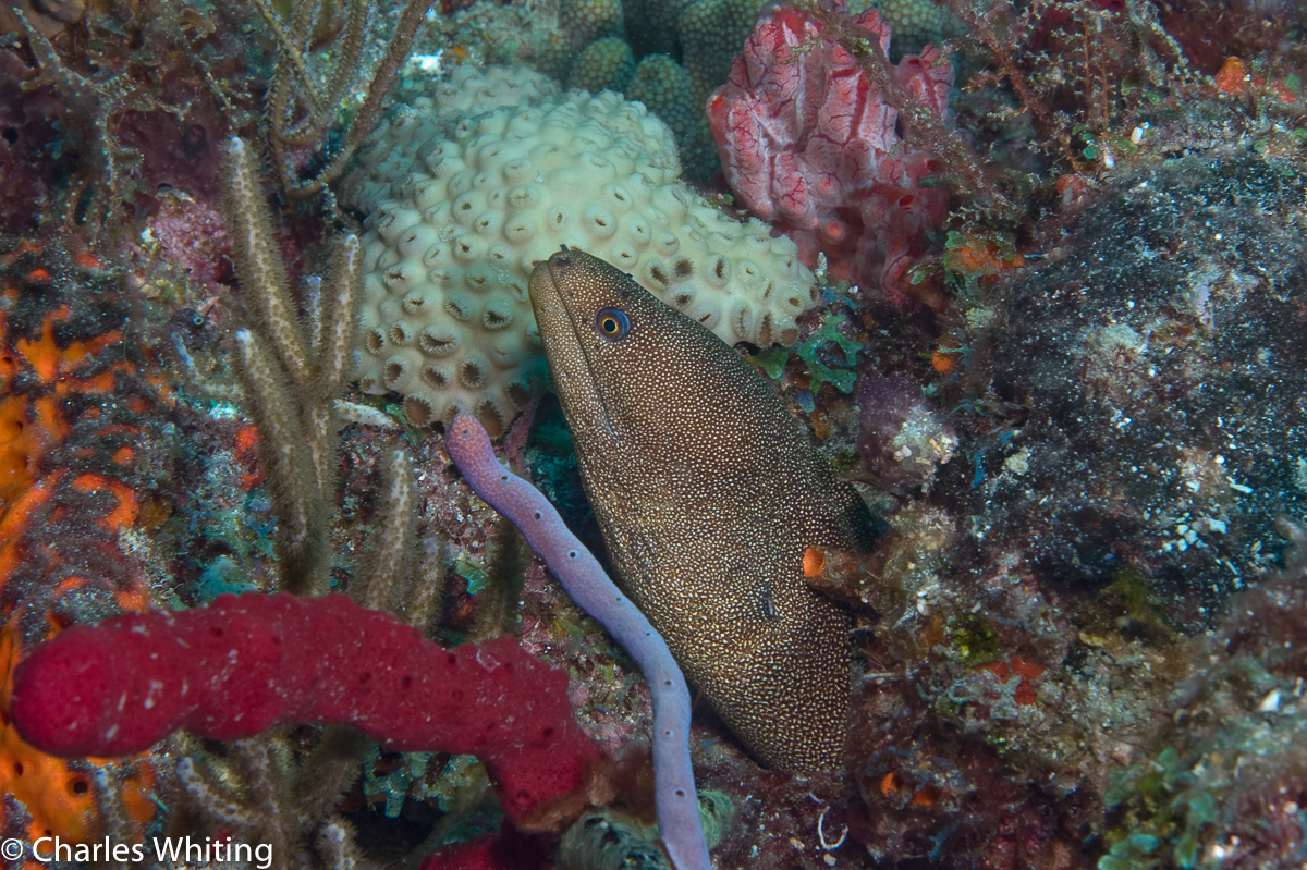Goldentailed Moray Eel, coral reef, Boynton Beach, Florida, photo