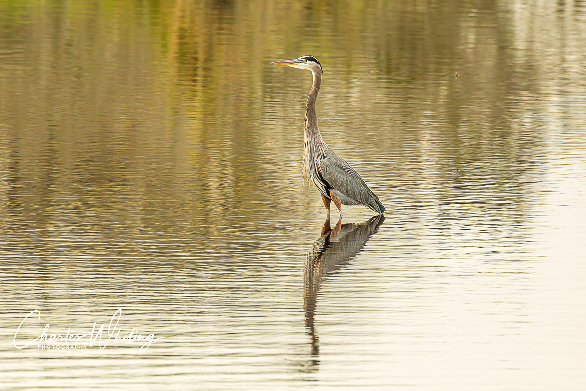 A Great Blue Heron in a very attentive pose