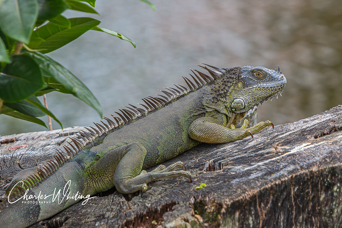 Green Iguana, Deerfield Beach, Florida, photo