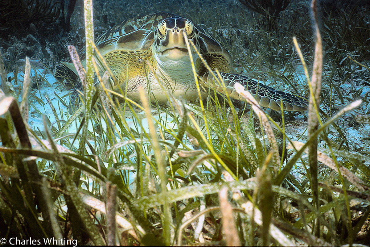Hawks Bill Turtle, Cay Sal Banks,Bahamas, photo