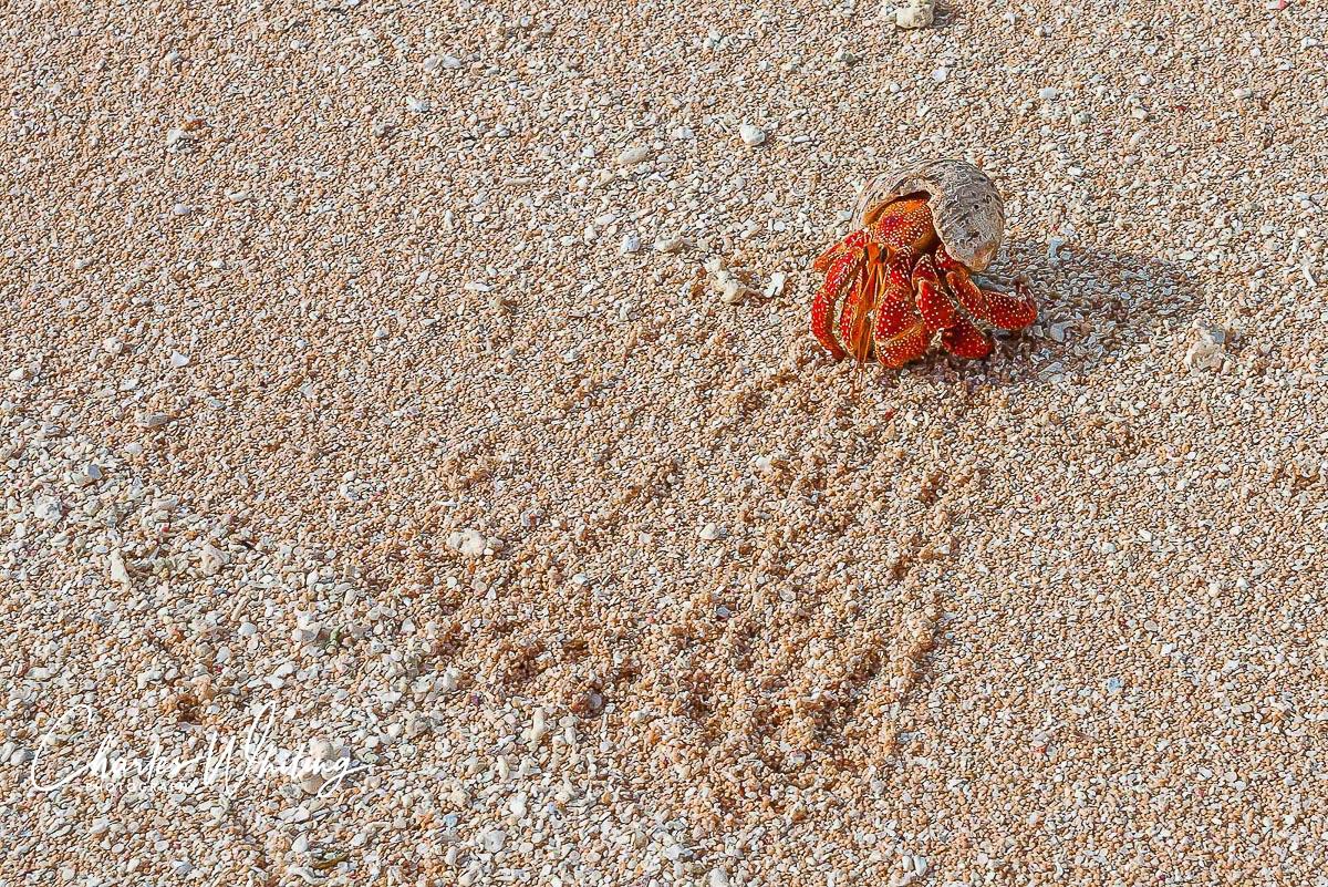 Hermit Crab, Bikirose Beach, Bikini Atoll, Marshall Islands, photo