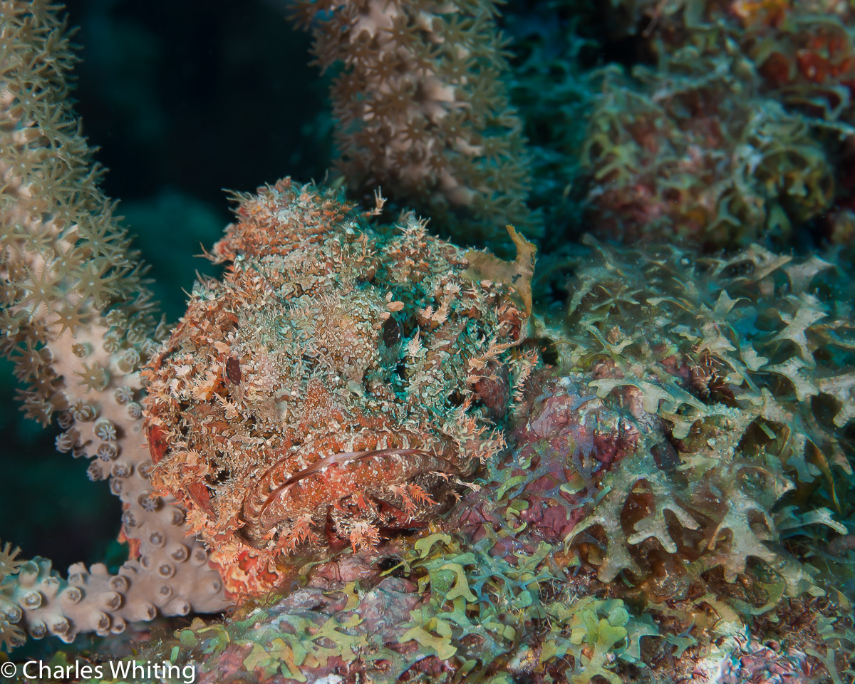 Spotted Scorpionfish, Cay Sal Banks, Bahamas, photo
