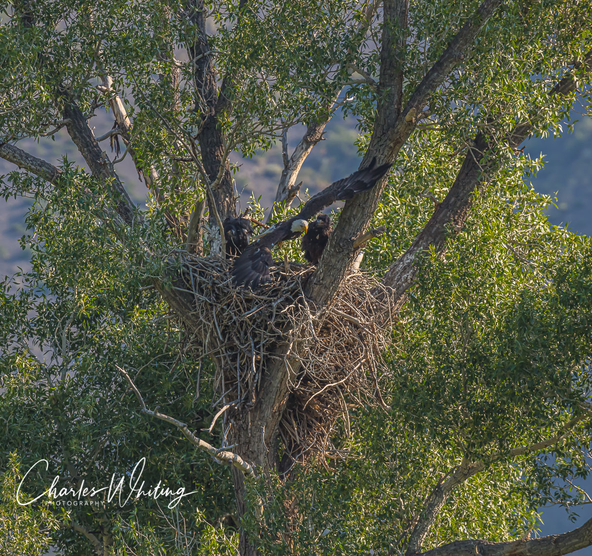 Eagle, Fledgling, Nest, Green Mountain Reservoir, Summit County, Colorado, photo