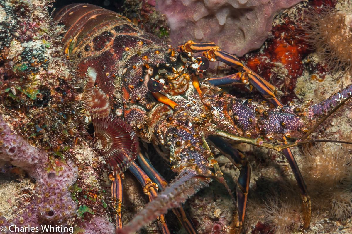 Atlantic Lobster, Cay Sal Banks, Bahamas, coral reef, photo