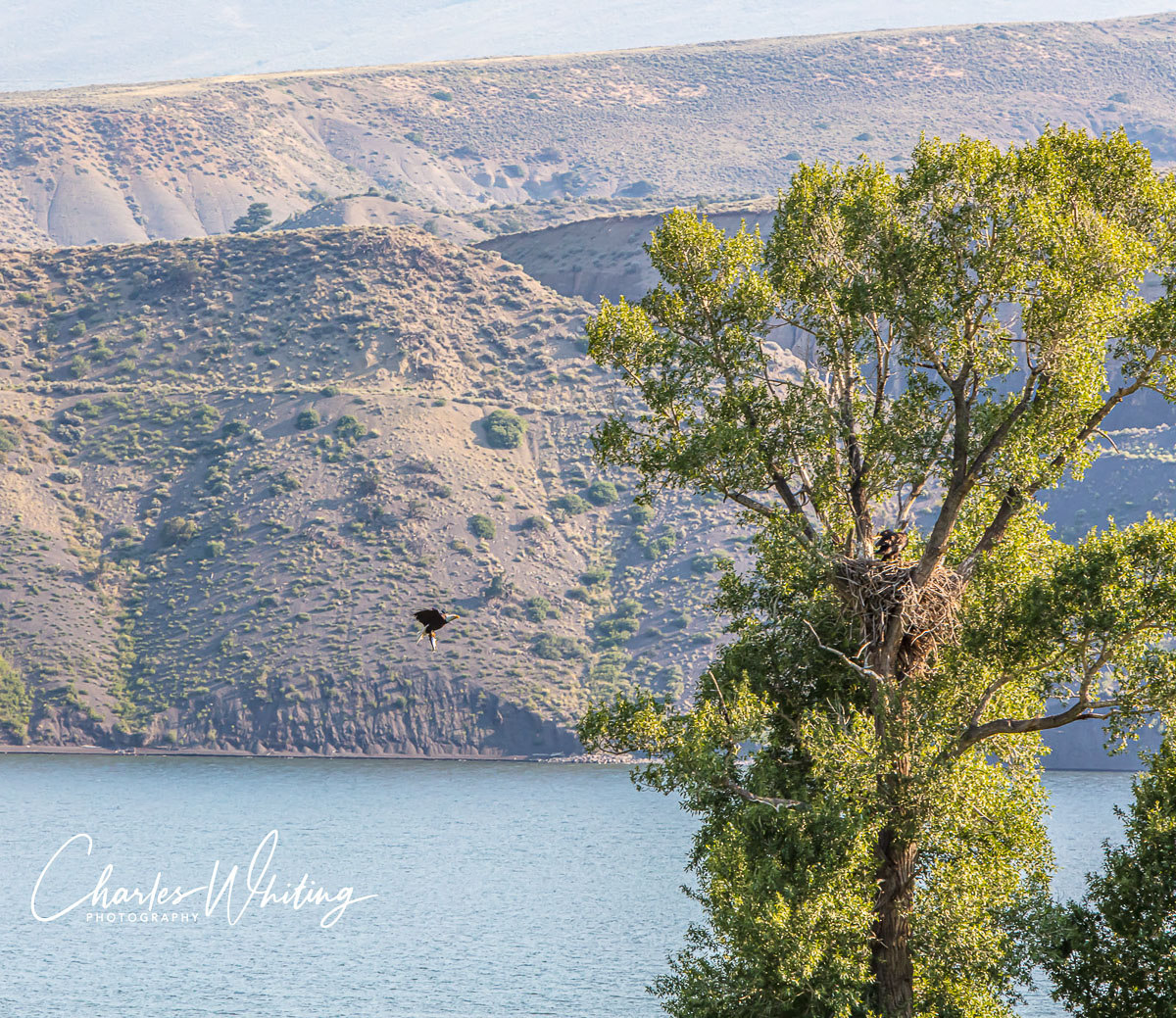 Green Mountain Reservoir, Summit County, Colorado, Lake Trout, Fledglings, Lunch, photo
