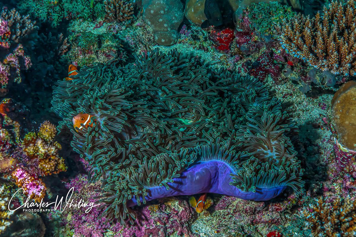 Maldives, Anemonefish, Purple Ring Anemone, photo