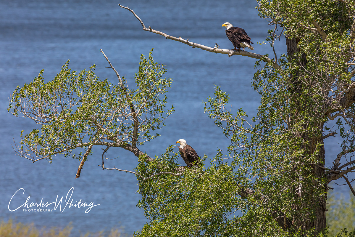 American Bald Eagles, Green Mountain Reservoir, Colorado, Summit County, photo