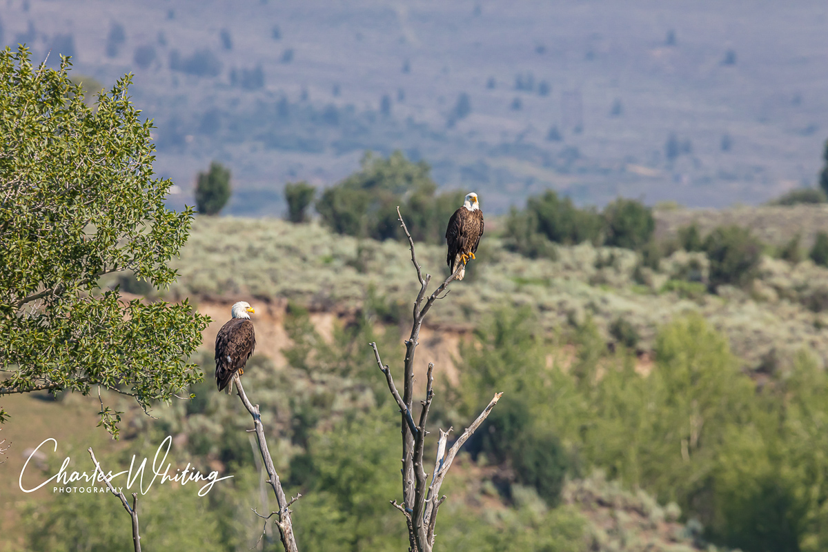 Eagles, Green Mountain Reservoir, Summit County, Colorado, photo