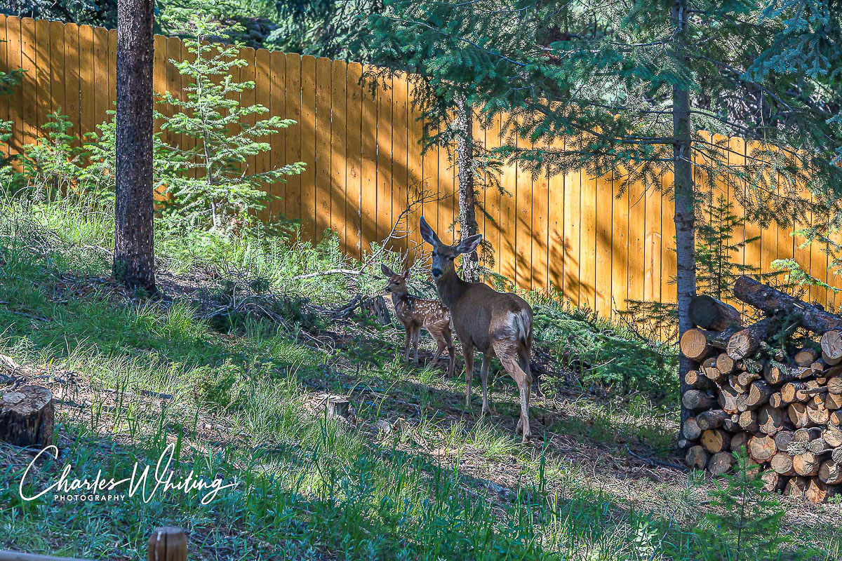 Mule Deer, doe, fawn, Evergreen, Colorado, photo