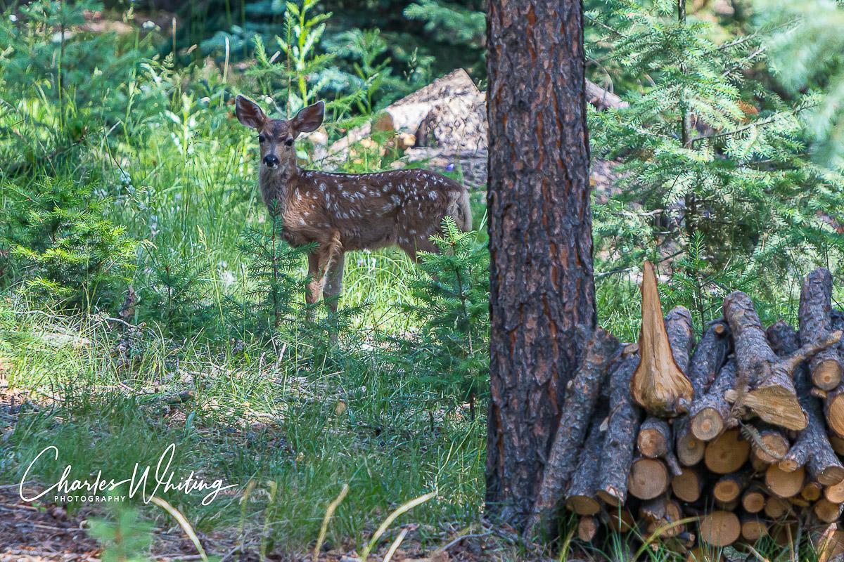 Mule Deer, Fawn, photo