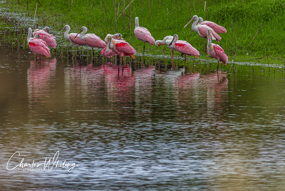 Spoonbills, Myakka RIver, Sarasota, Florida, photo