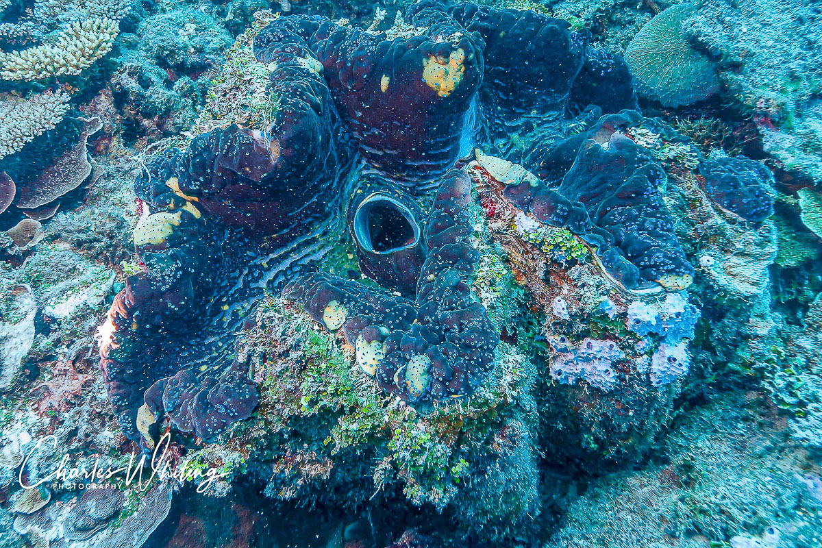 Giant Clam, Bikini Atoll, Marshall Islands, Pacific Ocean, photo