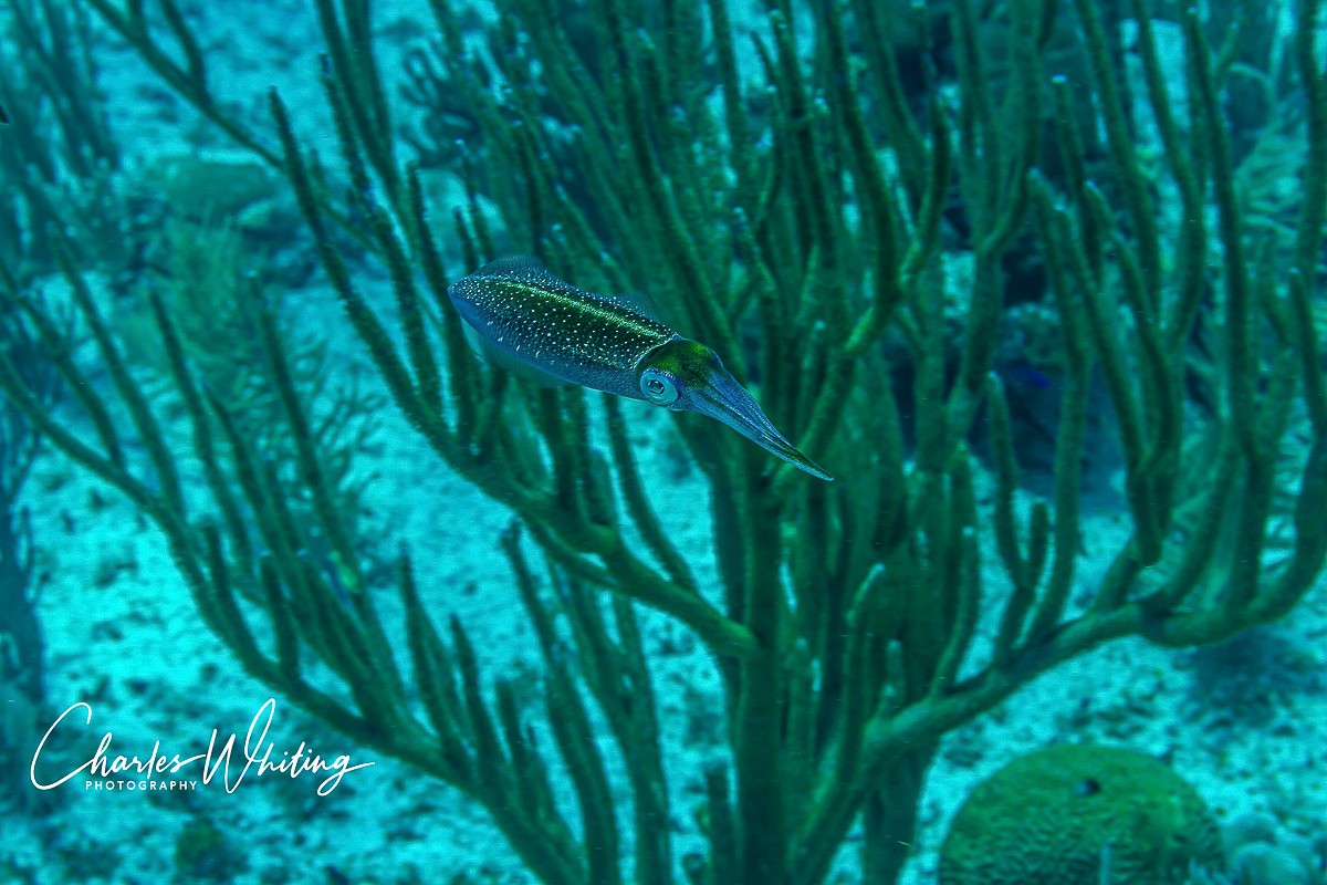 Caribbean Reef Squid are elusive and very difficult to photograph