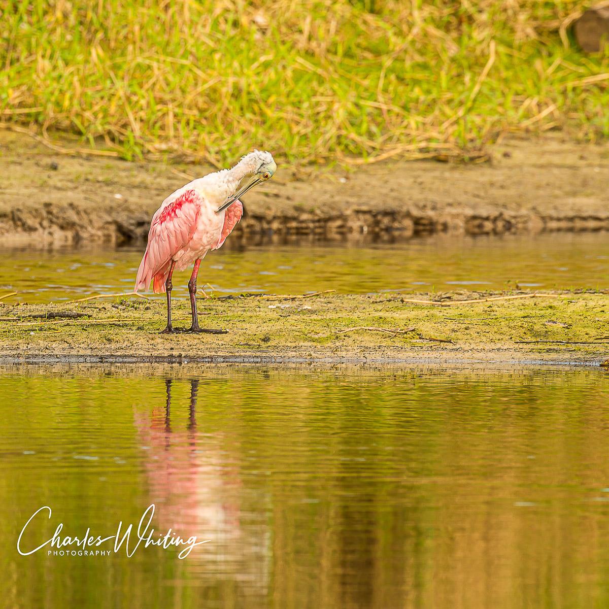 Roseate Spoonbill, Myakka River, Sarasota, Florida, photo