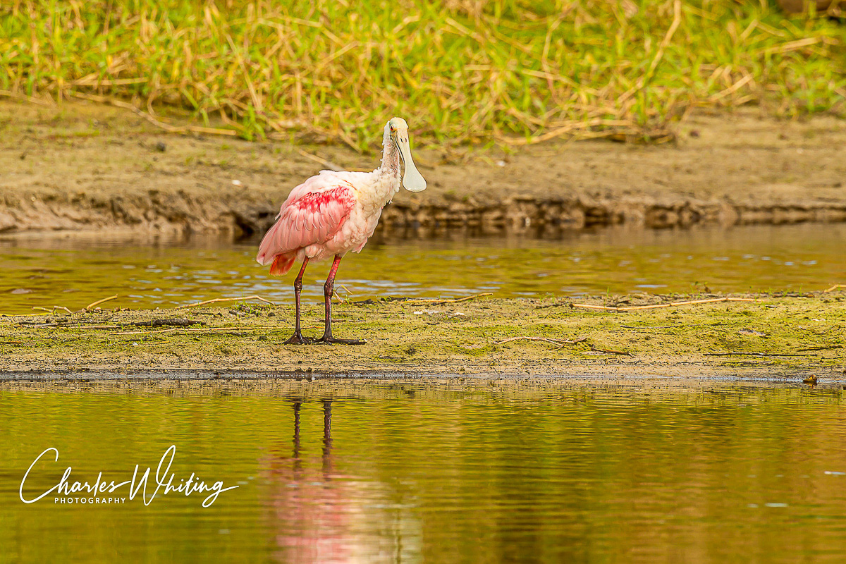 Roseate Spoonbill, Myakka River, Sarasota, Florida, photo