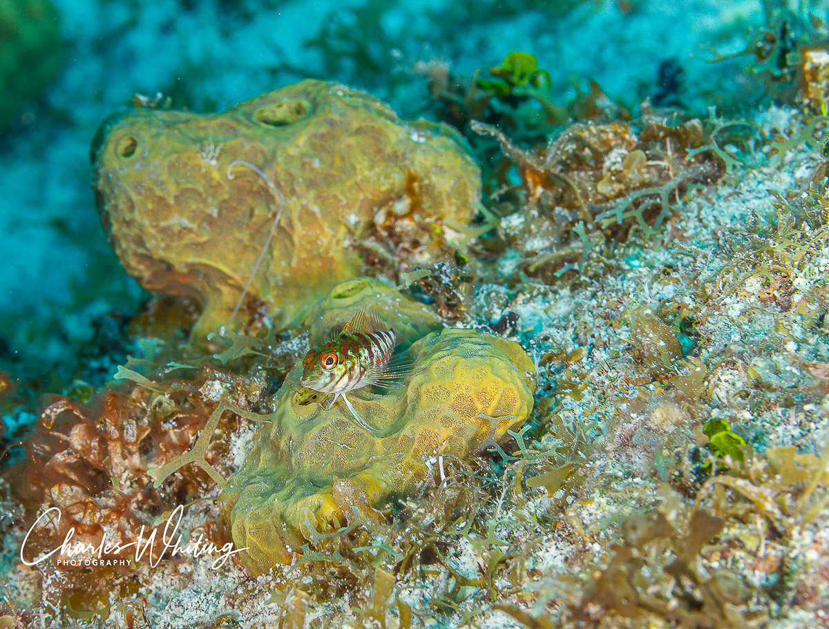 Saddled Blenny, Tunicate, Bloody Bay Wall, Little Cayman, Cayman Islands, photo