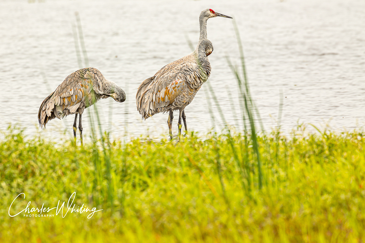Sandhill Cranes, Myakka River, Sarasota, Florida, wetlands, photo