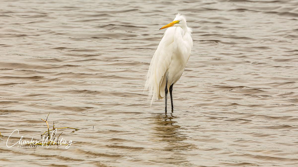 Snowy Egret, Myakka River, Sarasota, Florida, photo