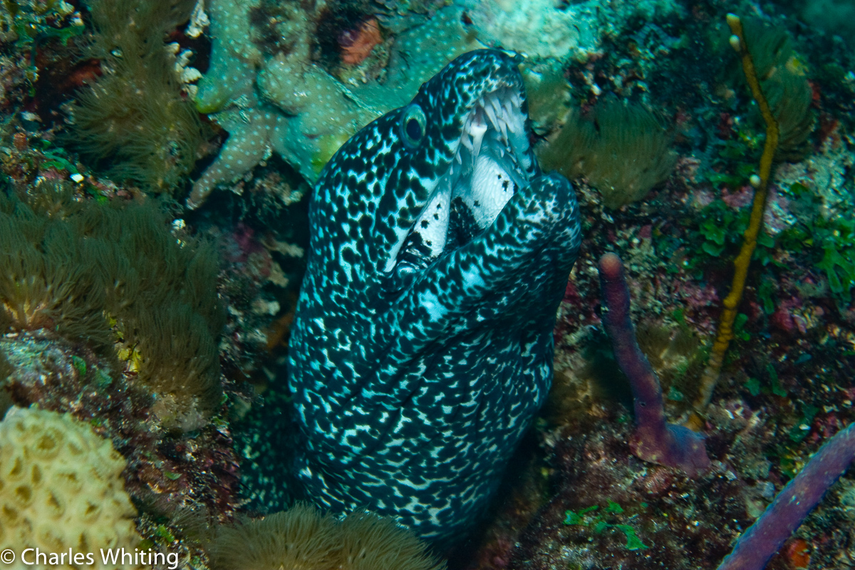 Spotted Moray Eel, Black Condo Reef, Boynton Beach, Florida, photo
