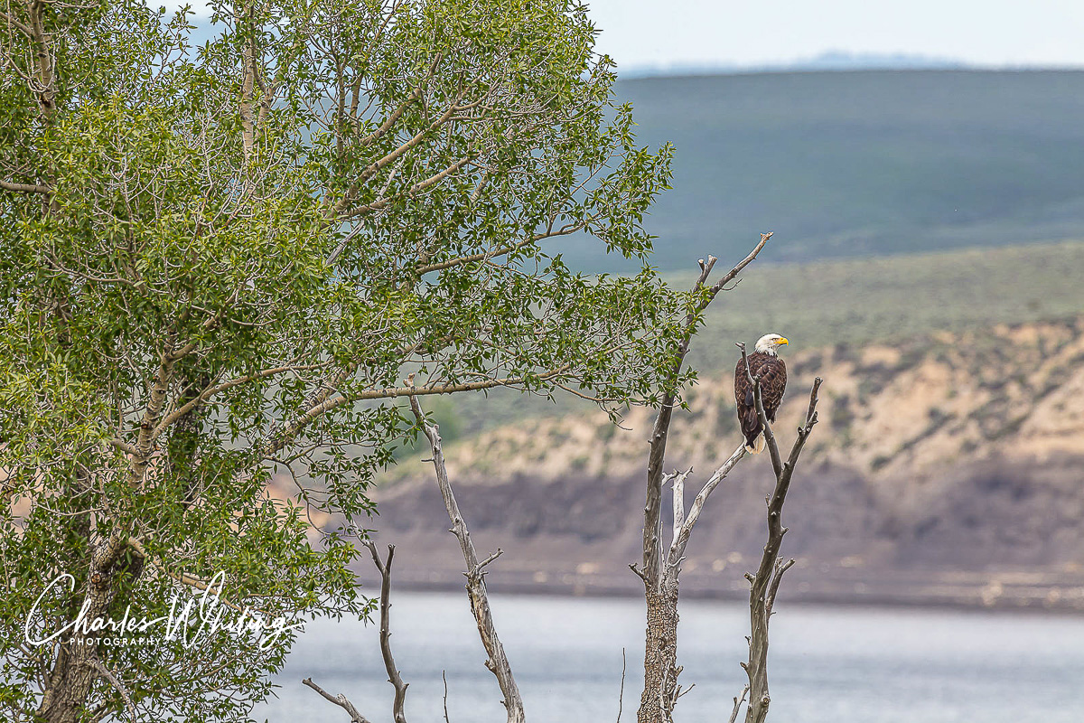American Bald Eagle, Green Mountain Reservoir, Summit County, Colorado, photo