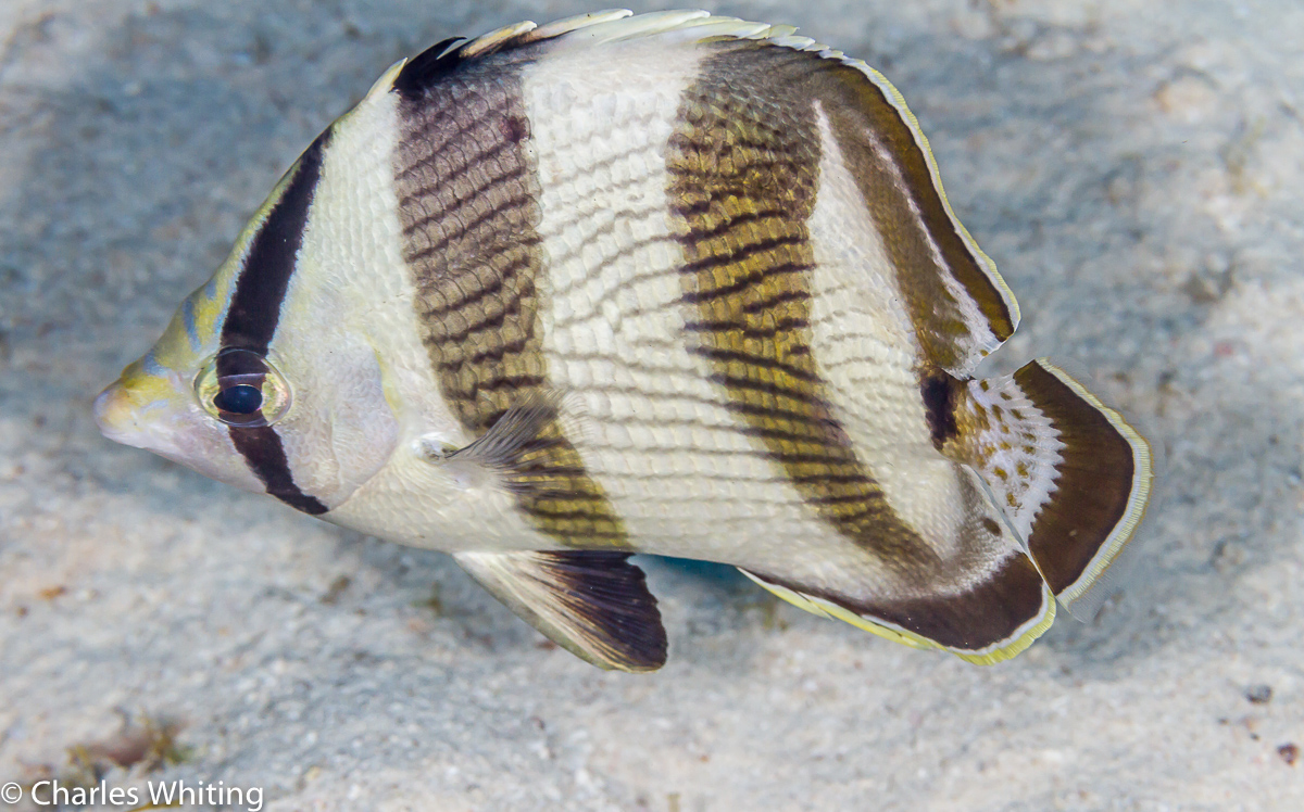 SCUBA, Underwater Photography, Turks and Caicos Islands, Banded Butterflyfish, photo