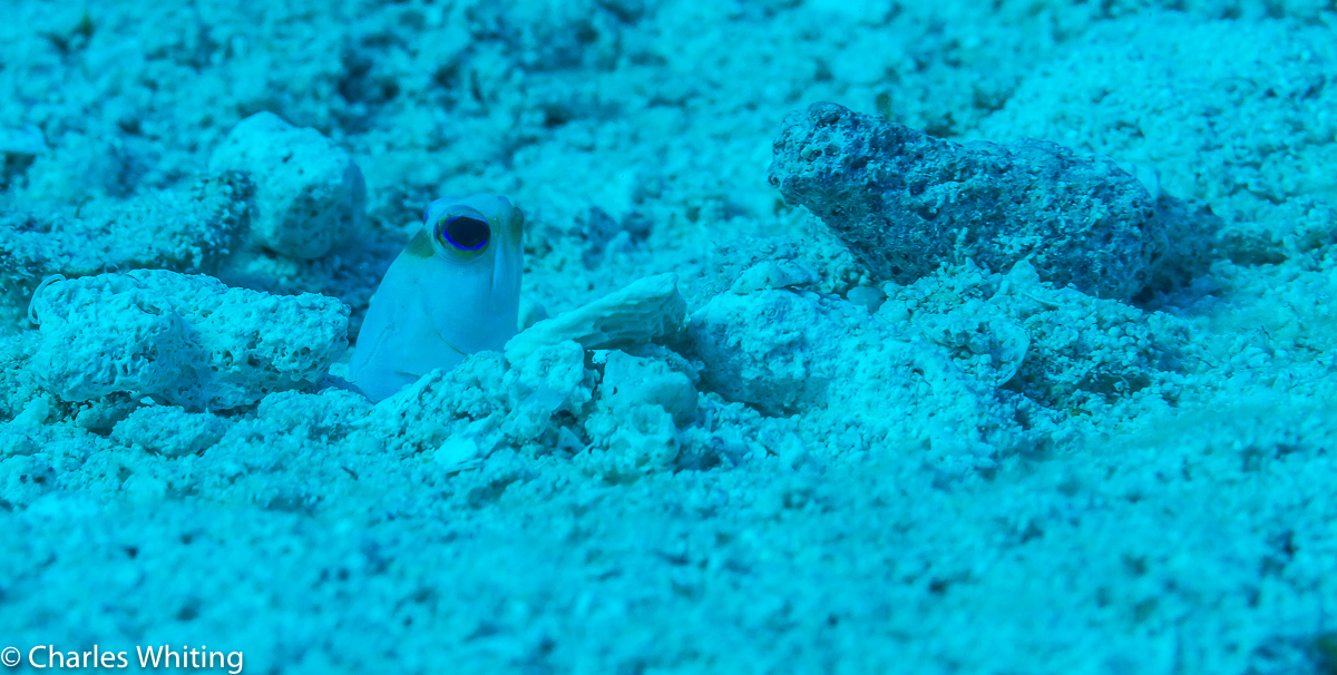 SCUBA, Underwater Photography, Turks and Caicos Islands, Yellowhead Jawfish, photo