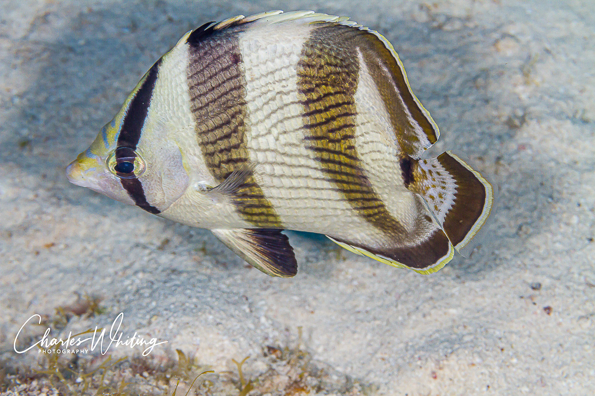 Turks and Caicos Islands, Banded Butterflyfish, Coral Reef, photo
