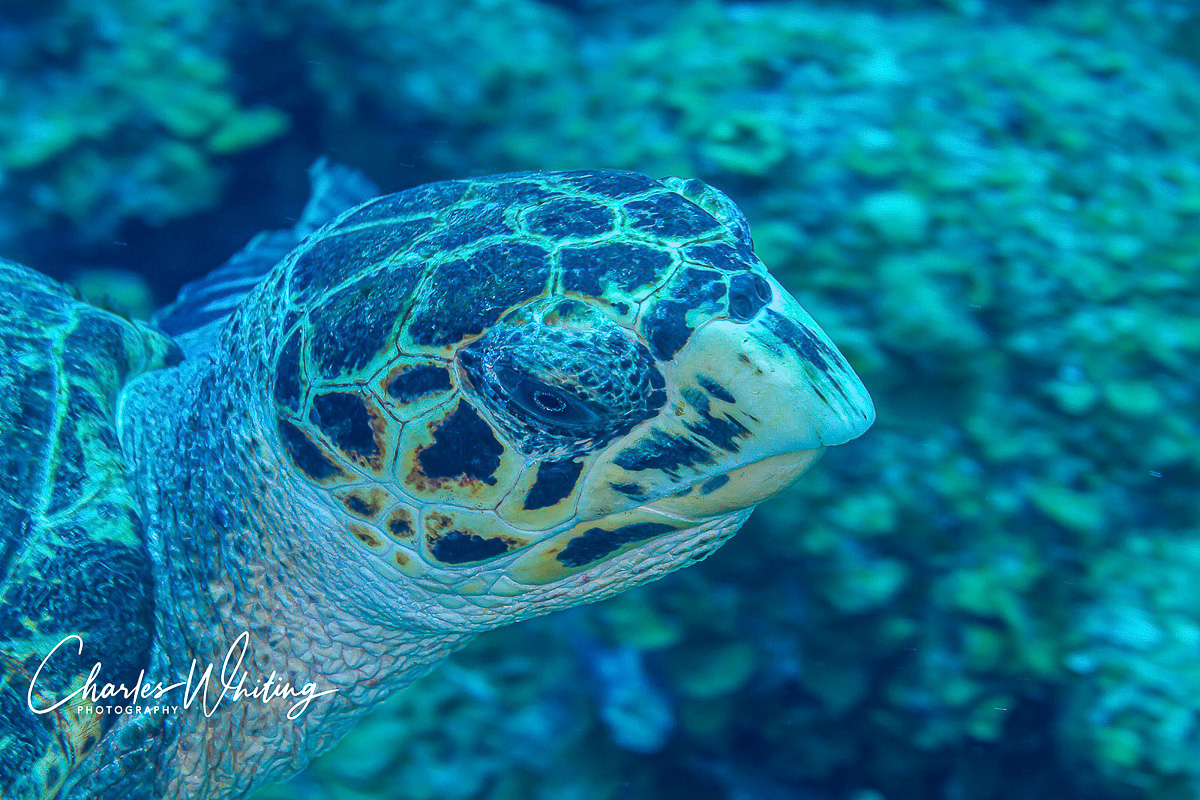 Turks and Caicos Islands, Hawksbill Turtle, photo
